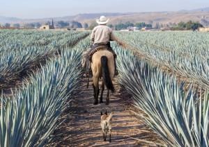メキシコのアガベ